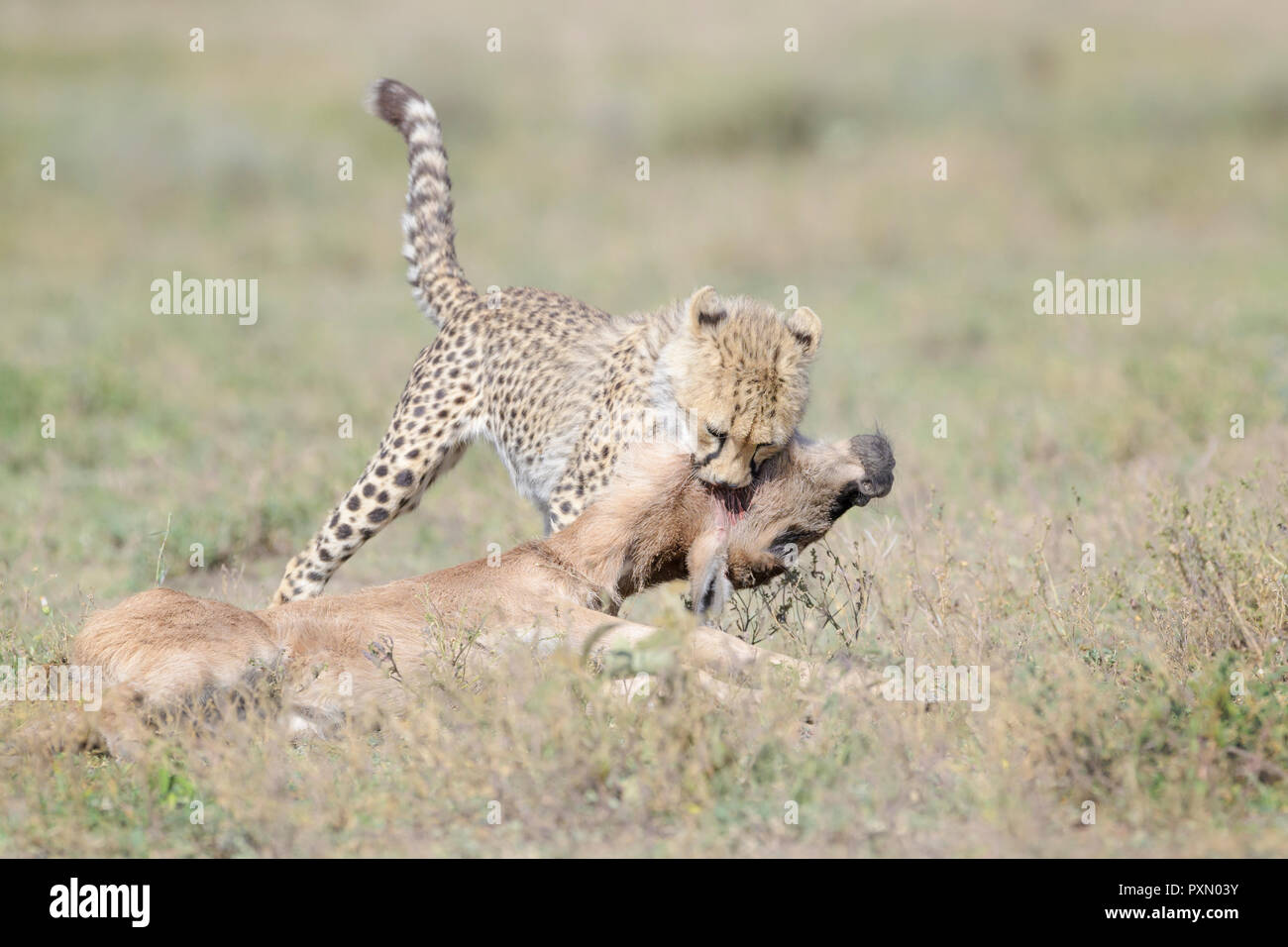Cheetah (Acinonyx jubatus) cub killing a just by the mother hunted blue wildebeest (Connochaetes taurinus) calf, Ngorongoro conservation area, Tanzani Stock Photo
