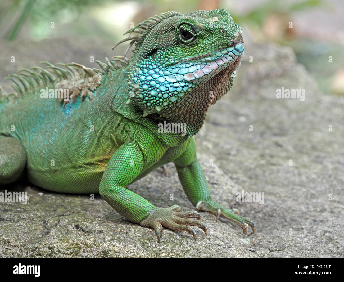 Exotic captive male Chinese Water Dragon (Physignathus cocincinus) an agamid with crested scaly green body and blue cheeks,sloughing skin - Stock Image