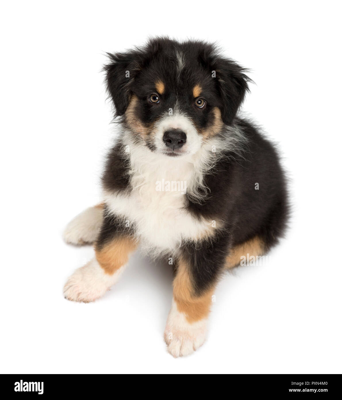 High View Of An Australian Shepherd Puppy 2 Months Old Sitting And Looking At Camera Against White Background Stock Photo Alamy