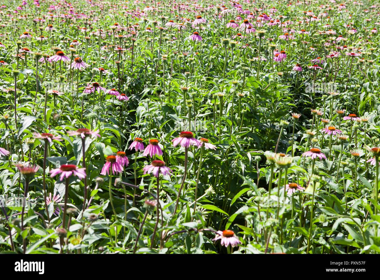Echinacea field, Muensterland; Germany, Europe - Stock Image