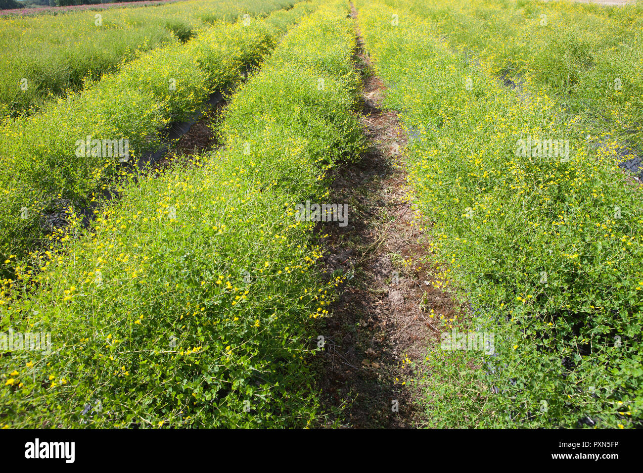 Melilotus as green manure on an Asparagus field, Muensterland; Germany, Europe Stock Photo
