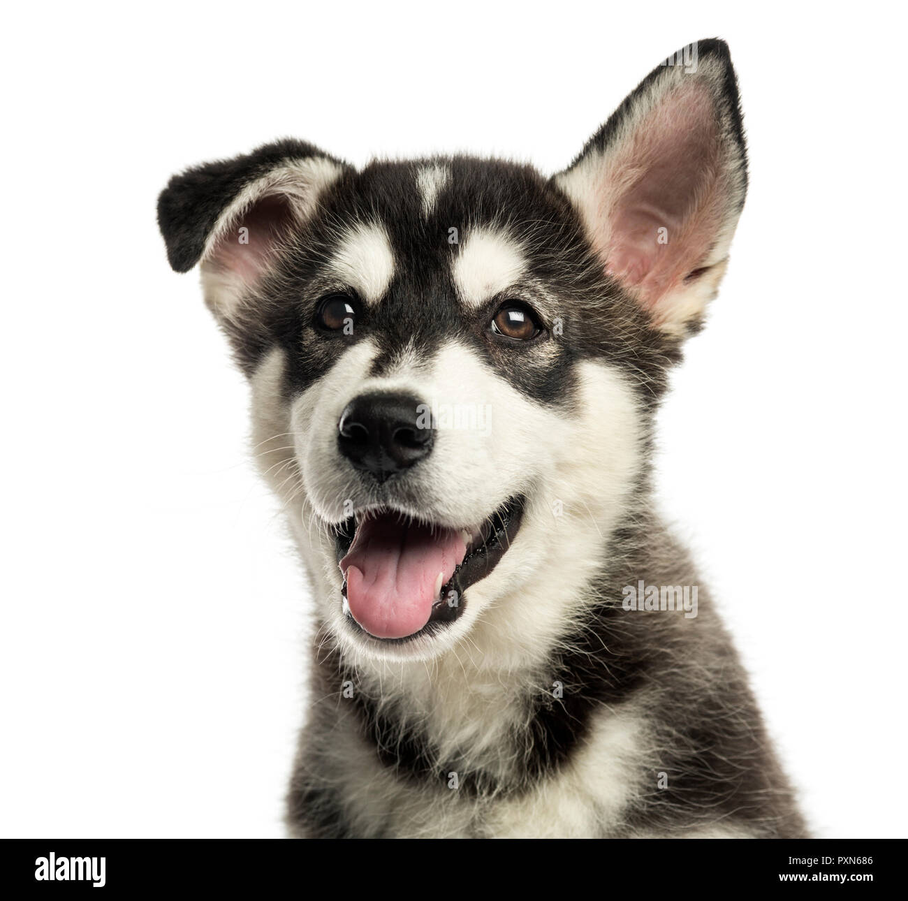 Close Up Of A Husky Malamute Puppy Panting Isolated On White Stock