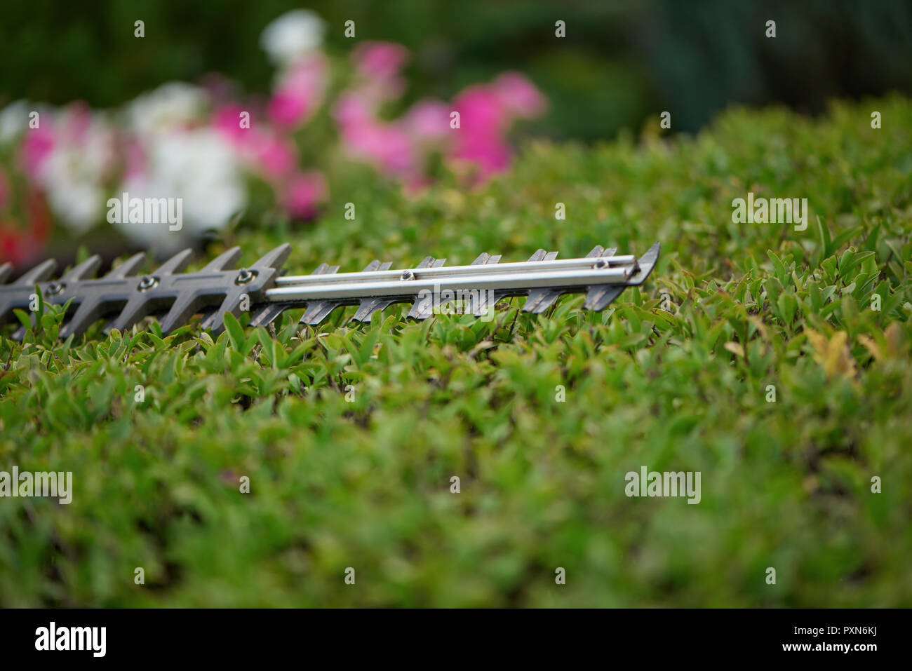Selective focus of trimming bush with hedge cutter in garden. Close up of blade of electrical hedge trimmer cutting hedge. Gardener working, cutting bushes to ideal fence. Trimming work in garden. - Stock Image