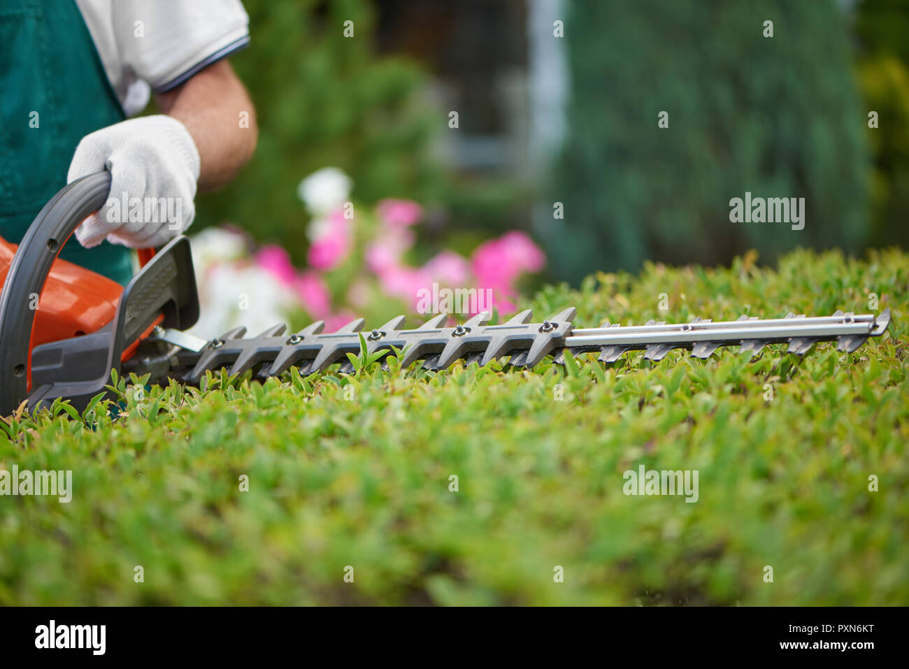 Professional male gardener, wearing in special overalls with protective glove working with professional garden equipment in backyard. Hedge trimmer cutting bushes to ideal fence. Gardening concept. - Stock Image