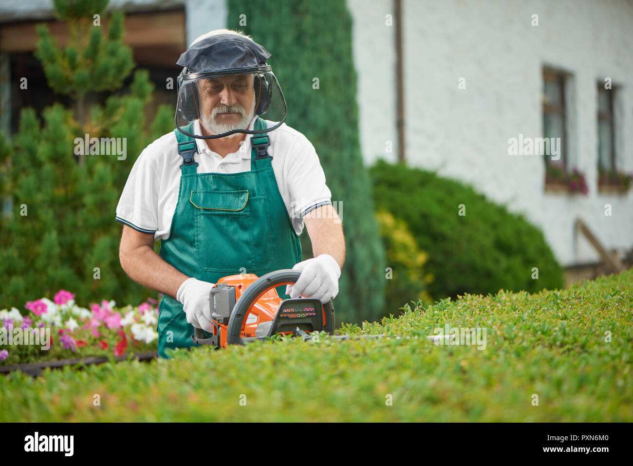 Senior male gardener cutting garden hedge with petrol hedge cutter. Professional garden worker wearing in green uniform and gloves, with safety mask and protective headphones working with clippers. - Stock Image