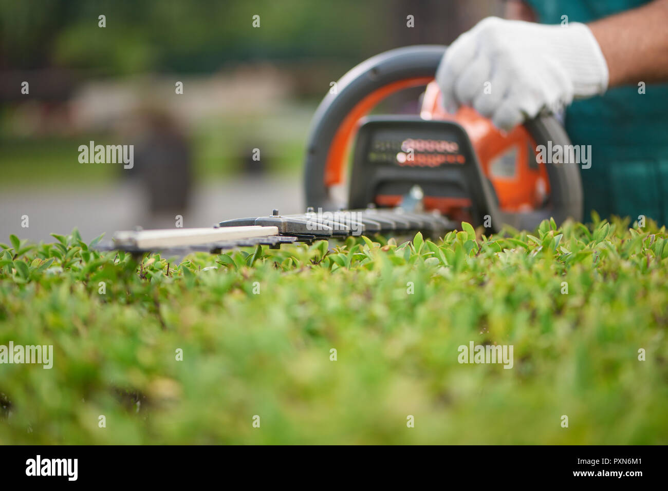 Close up of hedge trimmer cutting bushes to ideal fence. Male gardener, wearing in overalls with protective glove working with professional garden equipment in backyard. Trimming work in garden. - Stock Image