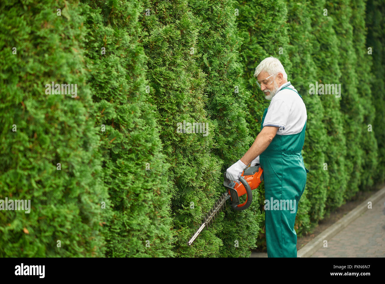 Gray haired bearded male gardener, wearing in special green overalls and protective glasses, cutting bushes of white cedar near house. Adult man landscaping bushes with petrol hedge cutter. - Stock Image