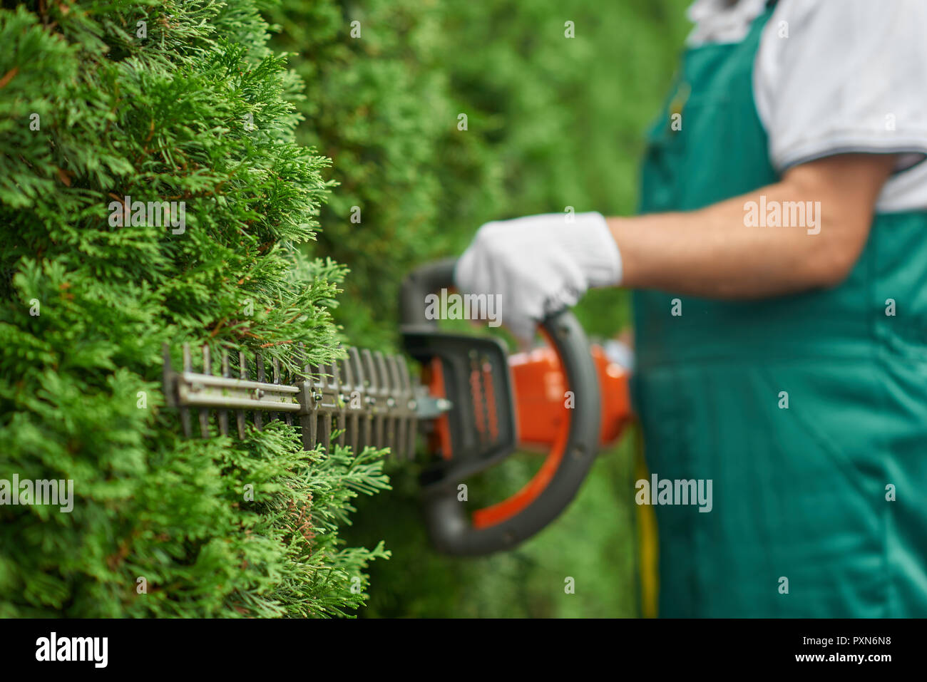 Close up of man hand with hedge trimmer cutting bushes of white cedar to ideal fence. Male gardener, wearing in overalls with protective glove working with professional garden equipment in backyard. - Stock Image