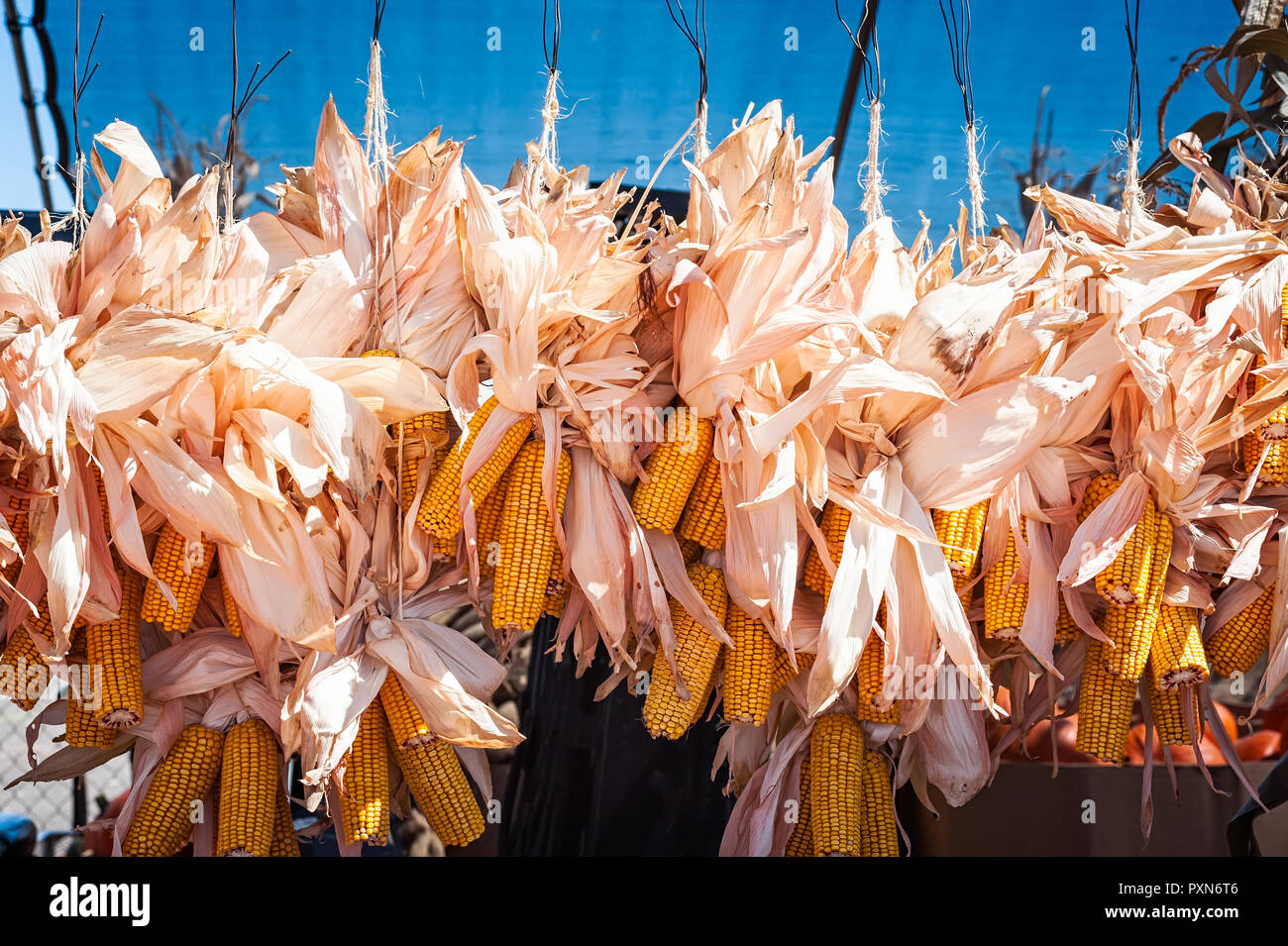 Dried ears of corn strung together and hung up for display in New Mexico. - Stock Image