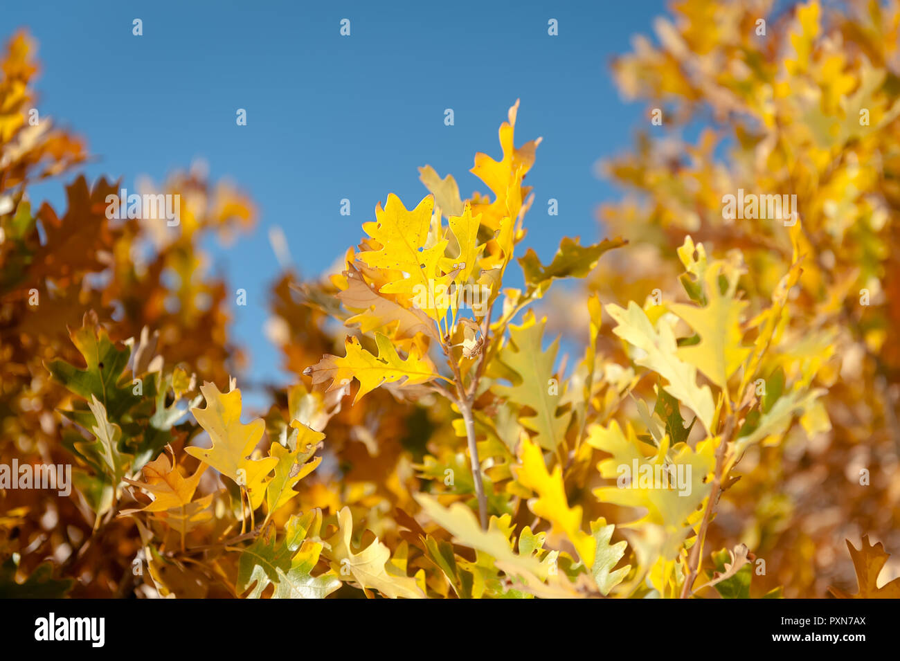 Yellow autumn leaves against blue sky. - Stock Image