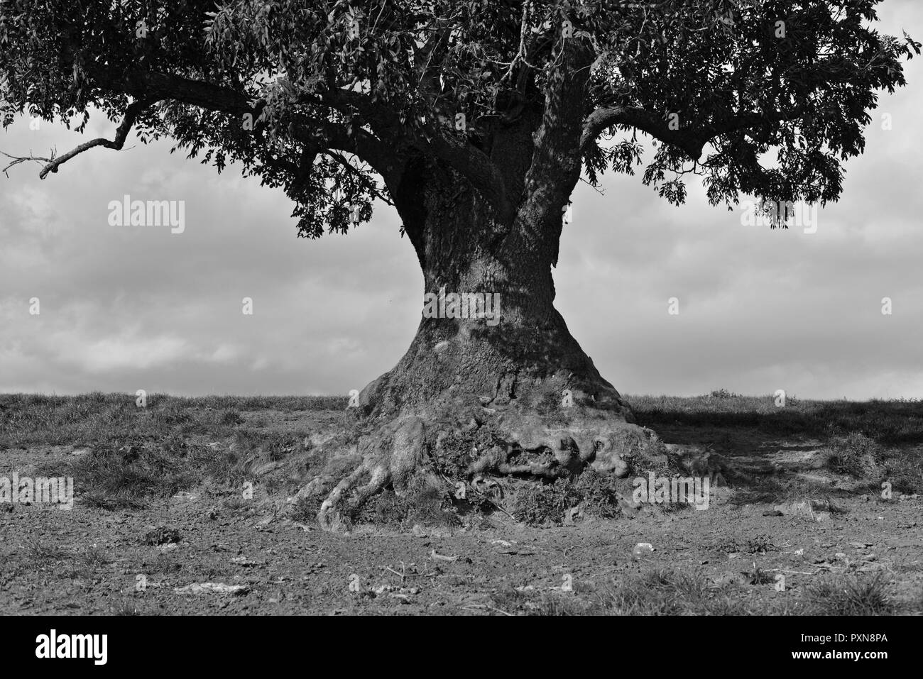 OLD TREE . ALTER BAUM - Stock Image