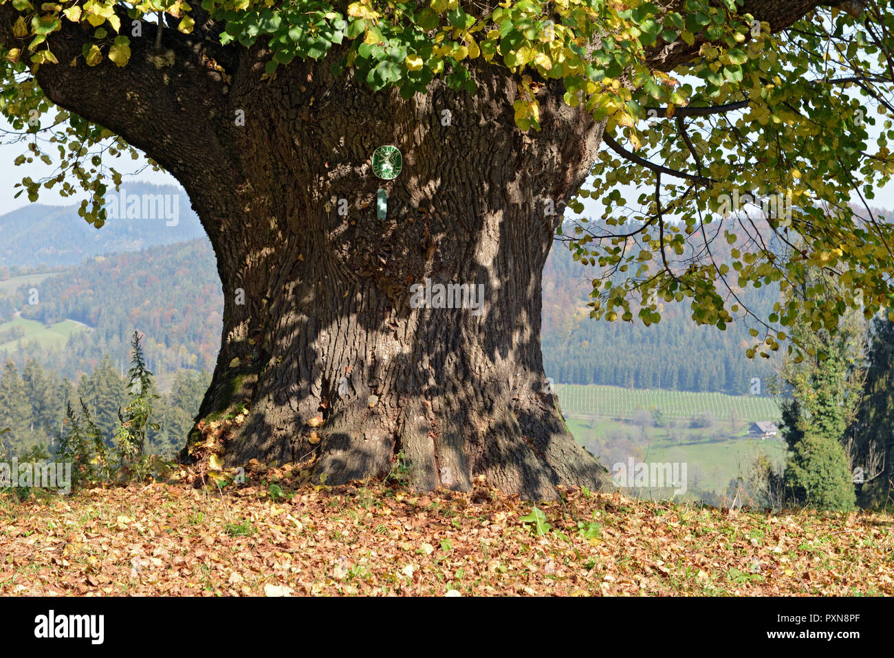 400 YEARS OLD LIME TREE . 400 JAHRE ALTE LINDE - Stock Image
