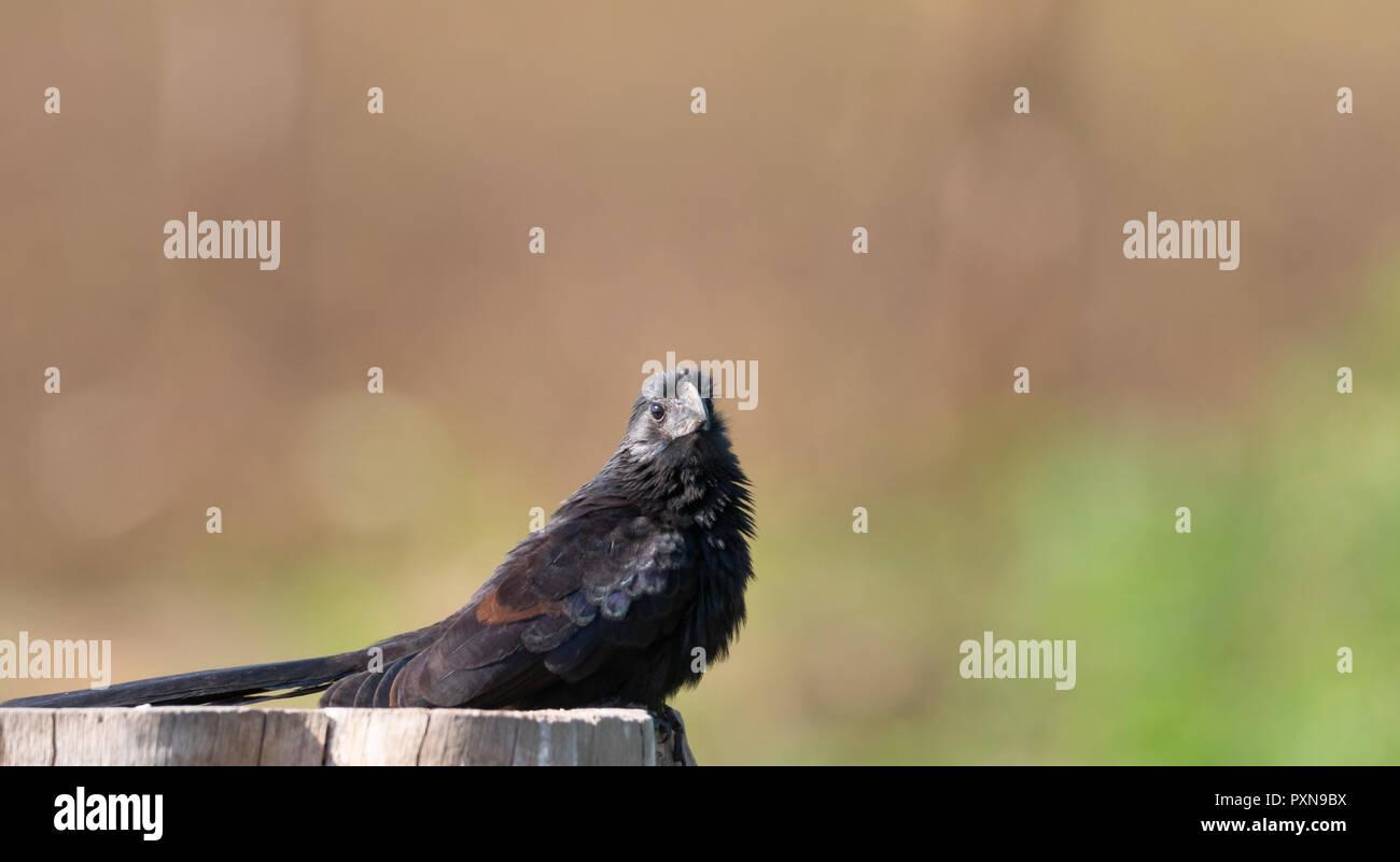 Ani bird sitting on a tree stump looking at the camera - Stock Image