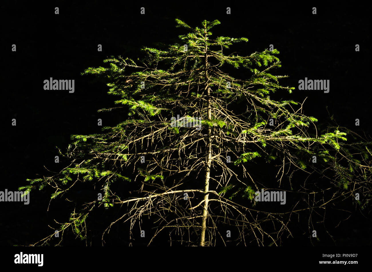 Small Norway spruce isolated on black background. - Stock Image