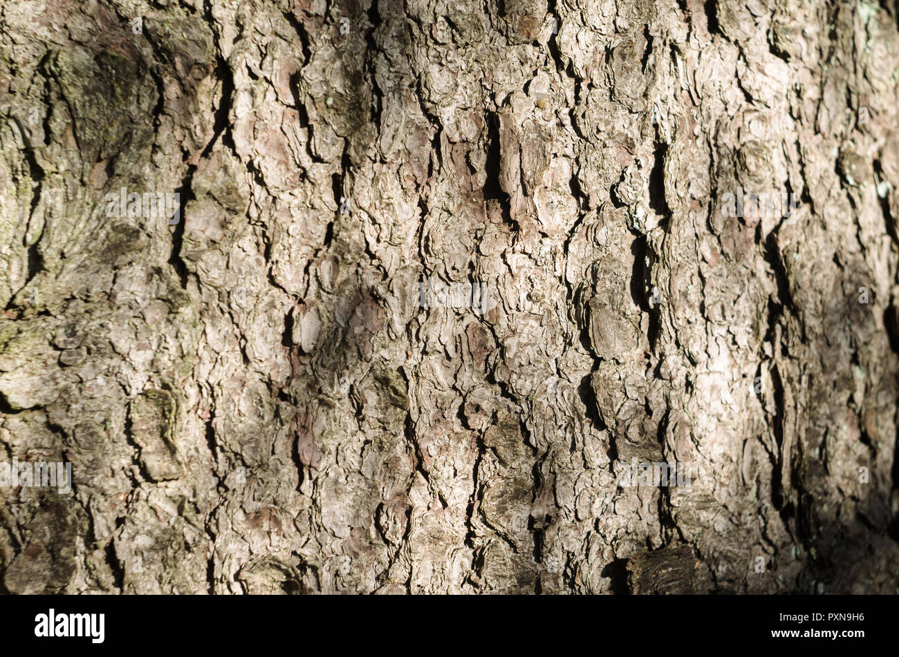 Texture Of The Bark Of Spruce. - Stock Image