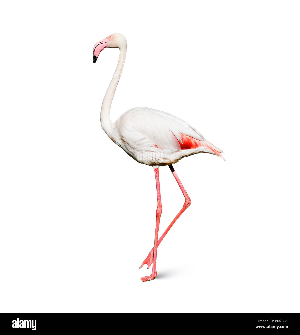 flamingo isolated on white background Stock Photo