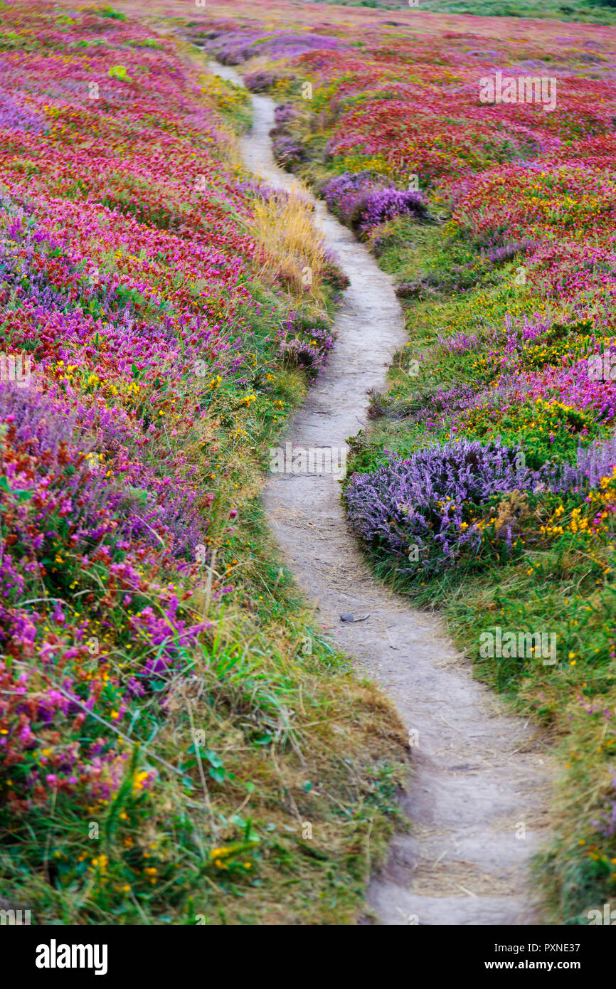 France, Brittany, cote d'armor, cap Frehal,  pathway through heather - Stock Image