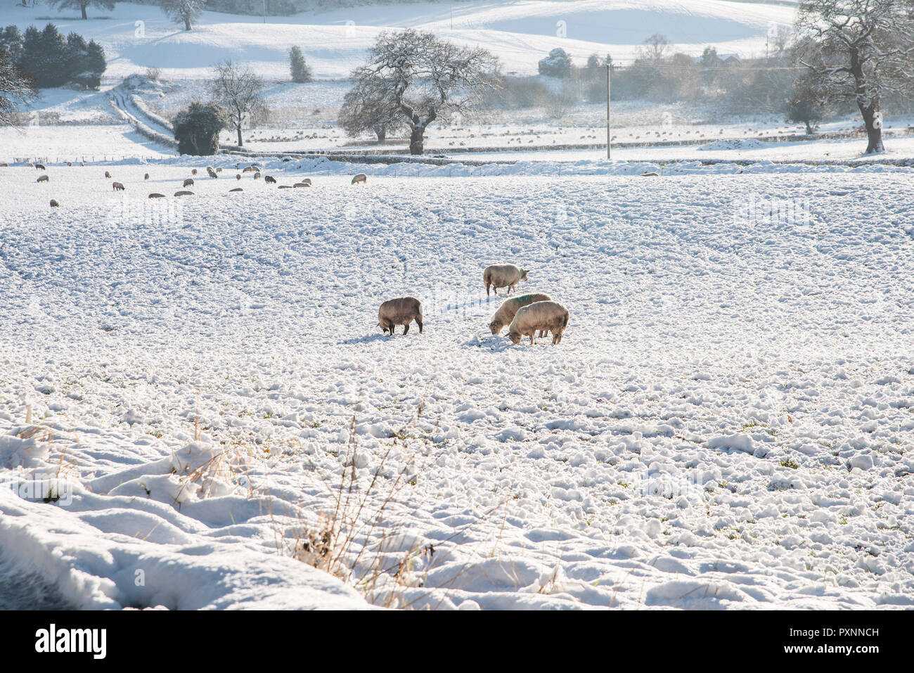 Sheep grazing on a snow covered field in Staffordshire  England  UK. - Stock Image