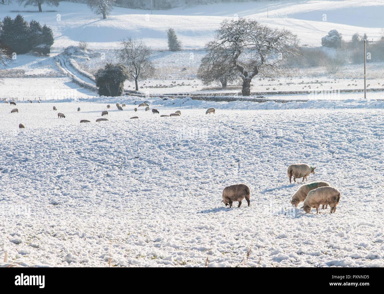 Sheep grazing on a snow covered field in Staffordshire  England  UK. Stock Photo