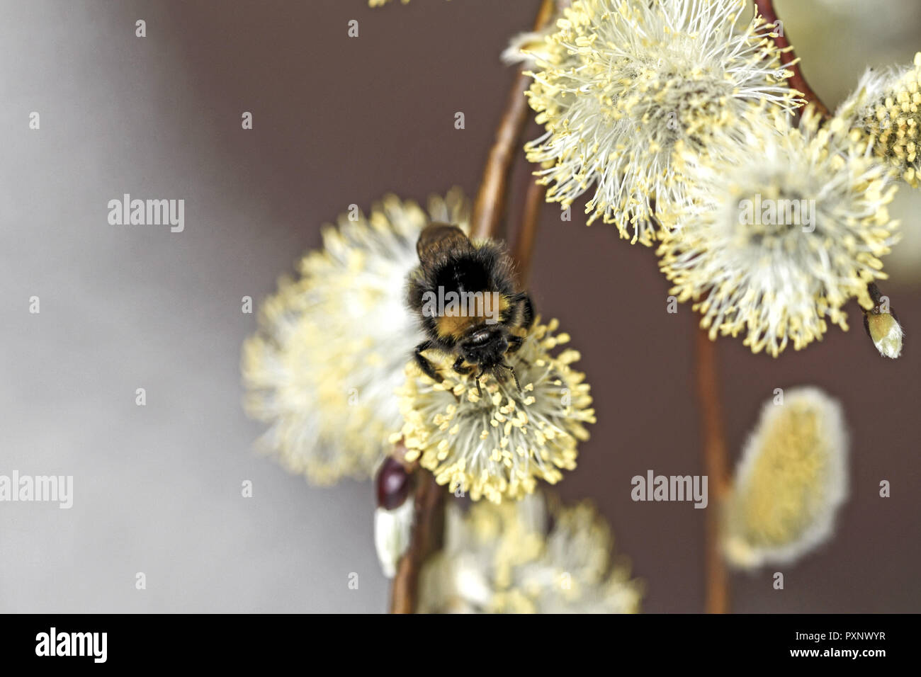 Nahaufnahme von bluehenden Weidenkaetzchen, Salweide, Salix caprea Stock Photo