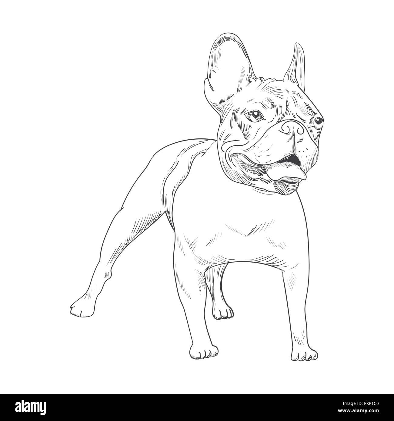 French bulldog hand drawn sketch isolated on white background.   Purebred dog artistic outline illustration. - Stock Image