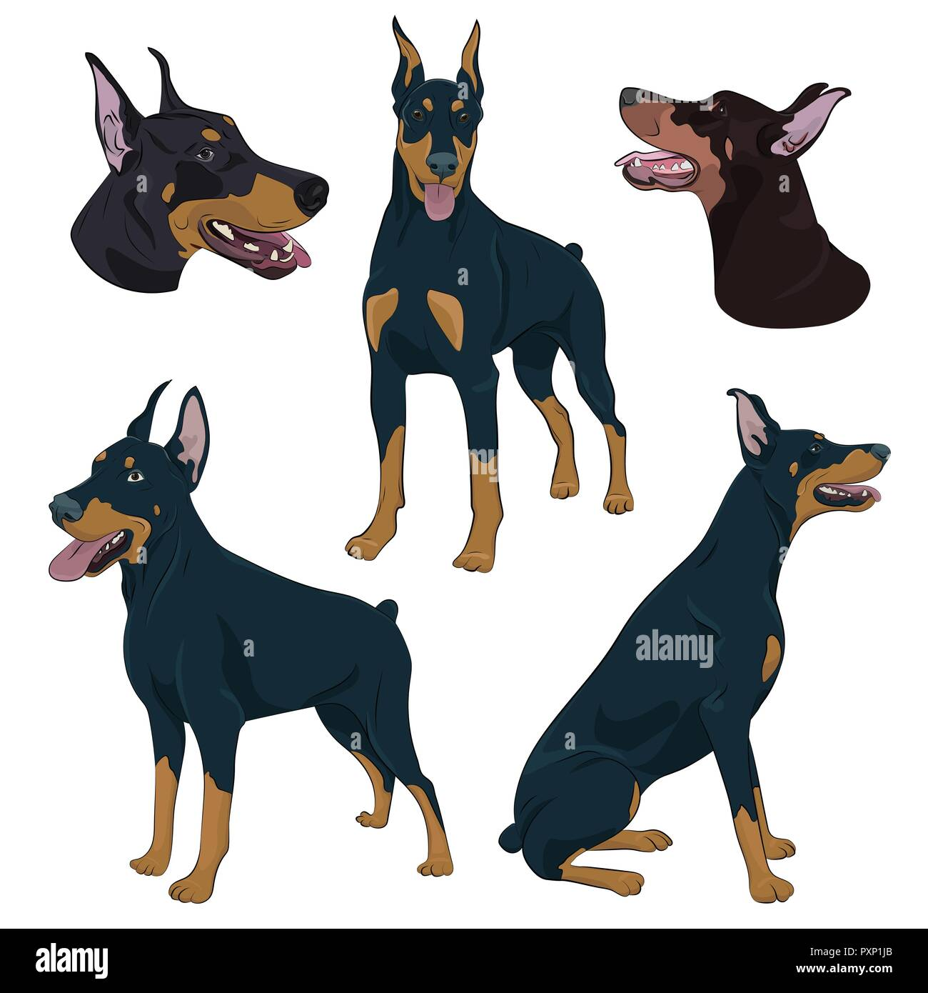 Dobermann in different poses. Watchdog hand drawn illustration. Doberman Pinscher set isolated on white background. - Stock Vector