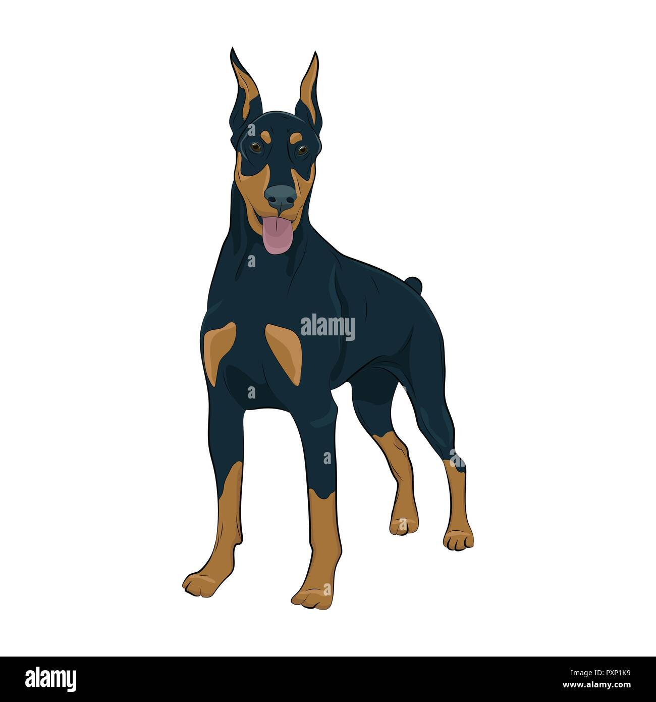 Doberman Pinscher standing isolated on white background. Dobermann standing and panting with tongue out. Watchdog for your design. - Stock Image