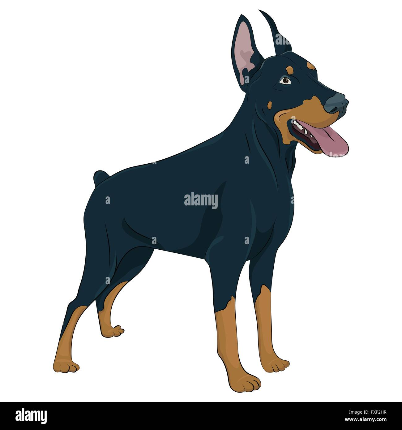 Dobermann standing and panting with tongue out. Watchdog for your design. Doberman Pinscher standing isolated on white background. - Stock Image