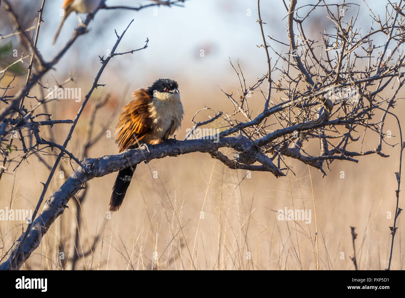 Burchell Coucal in Kruger National park, South Africa ; Specie Centropus burchellii family of Cuculidae - Stock Image