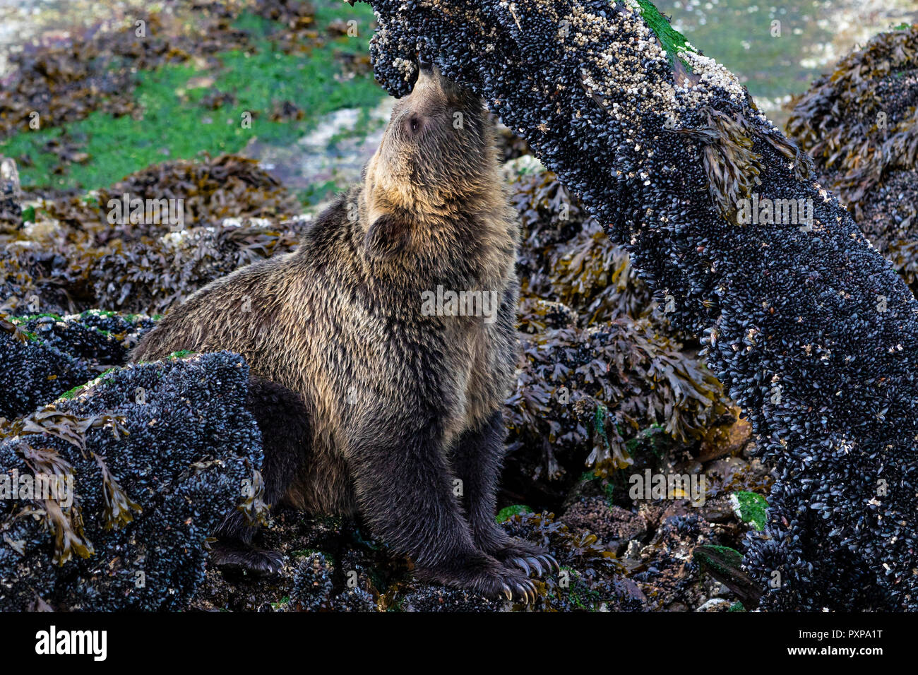Young coastal grizzly bear (Ursus arctos) feasting on blue mussles during low tide along the Knight Inlet shoreline, First Nations Territory, British  Stock Photo