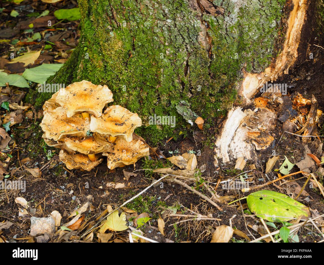 Honey fungus, Armillarea mellea, showing at the base of a diseased Catalpa x erubescens 'Purpurea'.  The tree has split after autumn gales - Stock Image