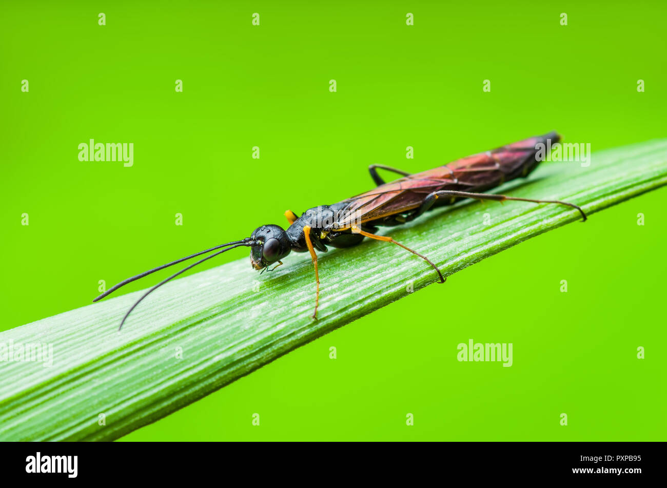 Exotic Parasitoid Wasp Fly Diptera Insect on Green Grass - Stock Image
