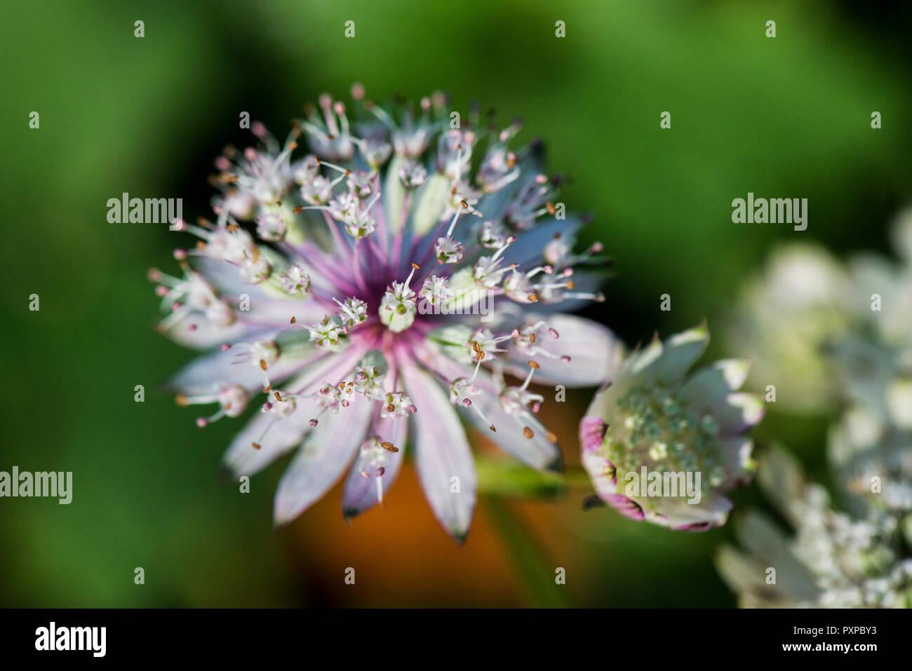 The flowers of a greater masterwort (Astrantia major)//////// Stock Photo