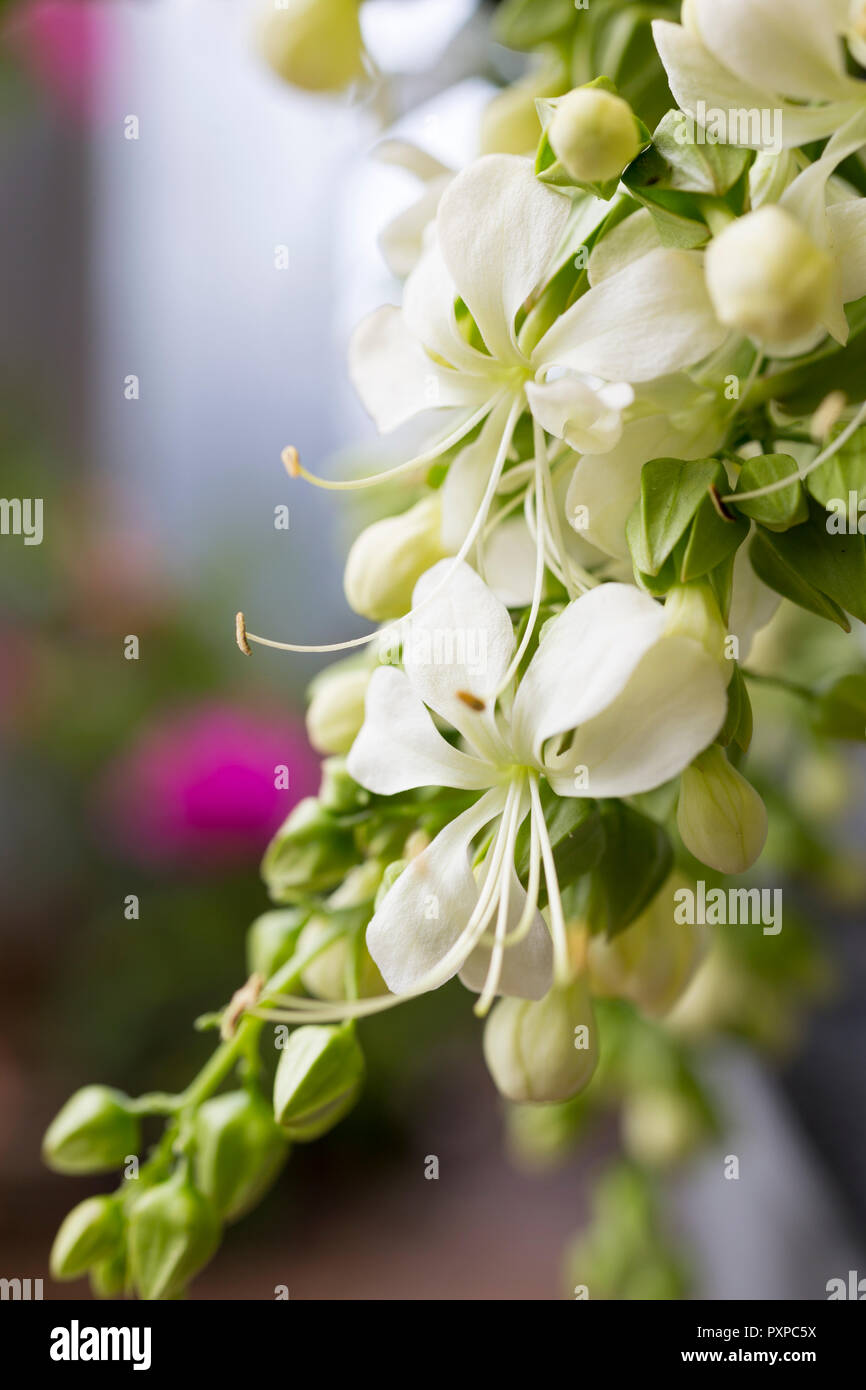 Clerodendrum wallichii 'Prospero' - Stock Image