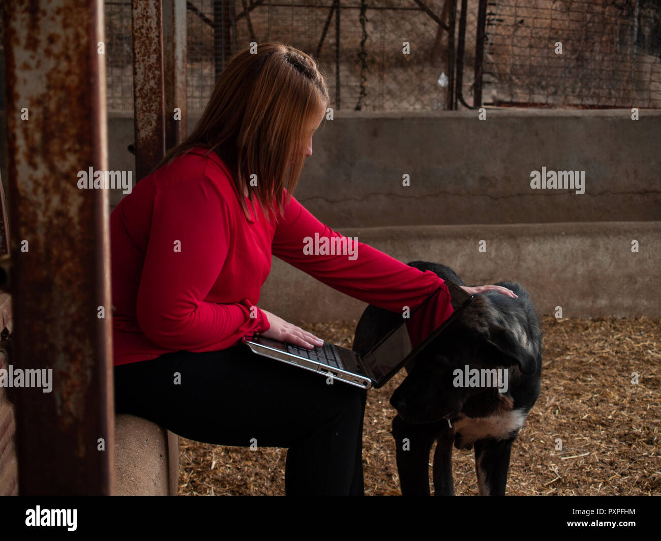 An entrepreneur young woman working outdoor on a farm with a laptop stroking a mastiff dog - Stock Image