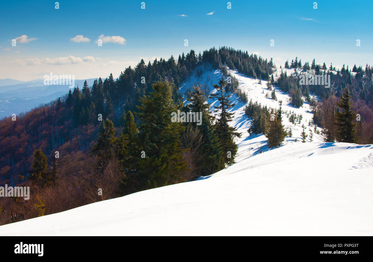 A hill covered in snow on the background of the Carpathian mountain range and a forest with evergreen spruce and pine trees. Sunny frosty winter day;  Stock Photo