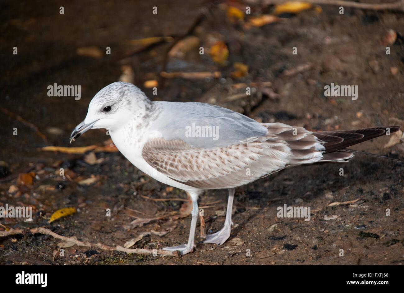 Common Gull, Larus canus, on ground, Brent Reservoir or Welsh Harp Reservoir, Brent, London, United Kingdom - Stock Image