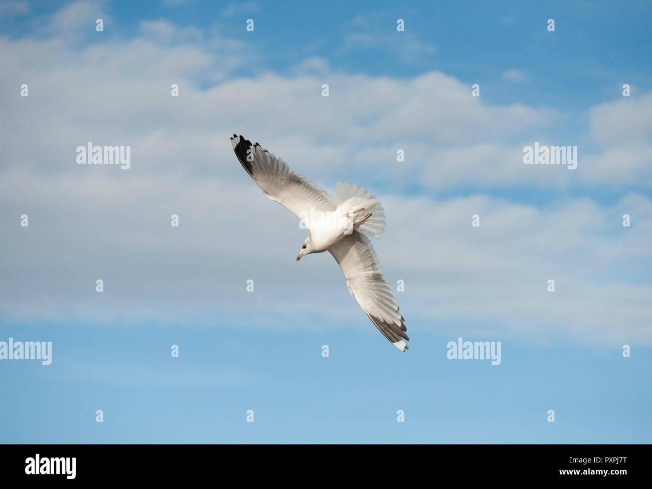 Common Gull, Larus canus, in flight over Brent Reservoir or Welsh Harp Reservoir, Brent, London, United Kingdom - Stock Image