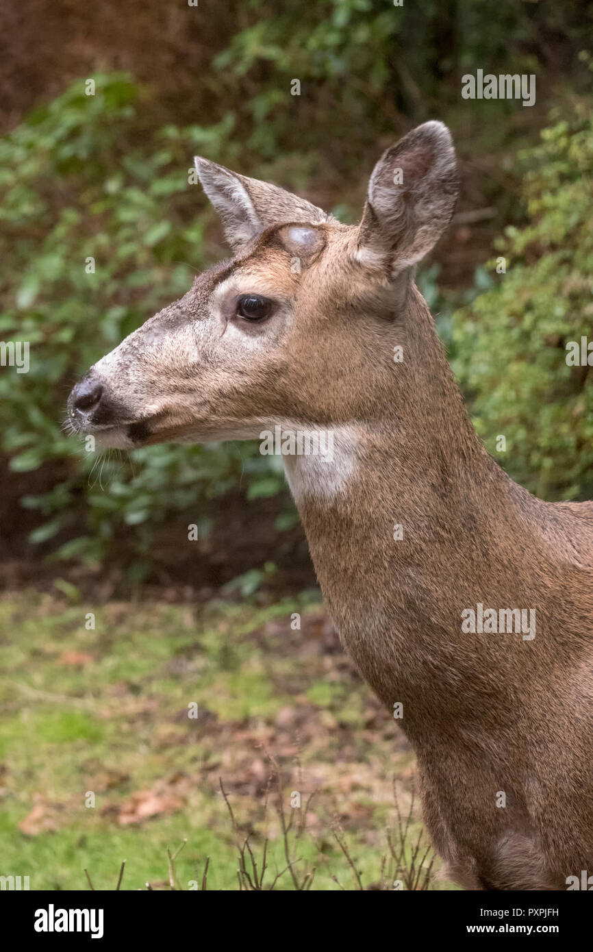 Male Mule Deer with antlers just barely visible in a rural residential yard. Stock Photo
