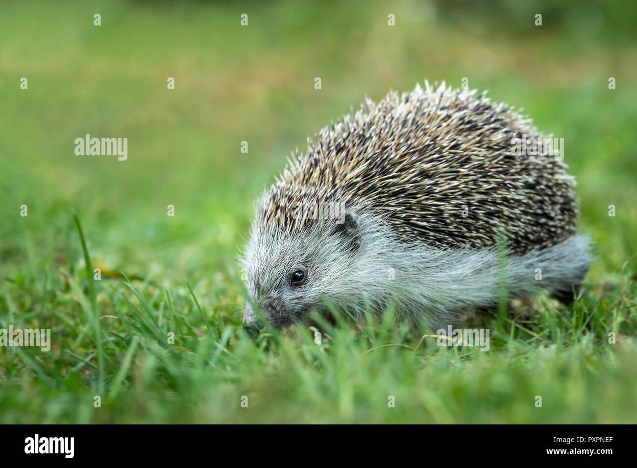 Portrait of a hedgehog walking in a green meadow in autumn - Stock Image