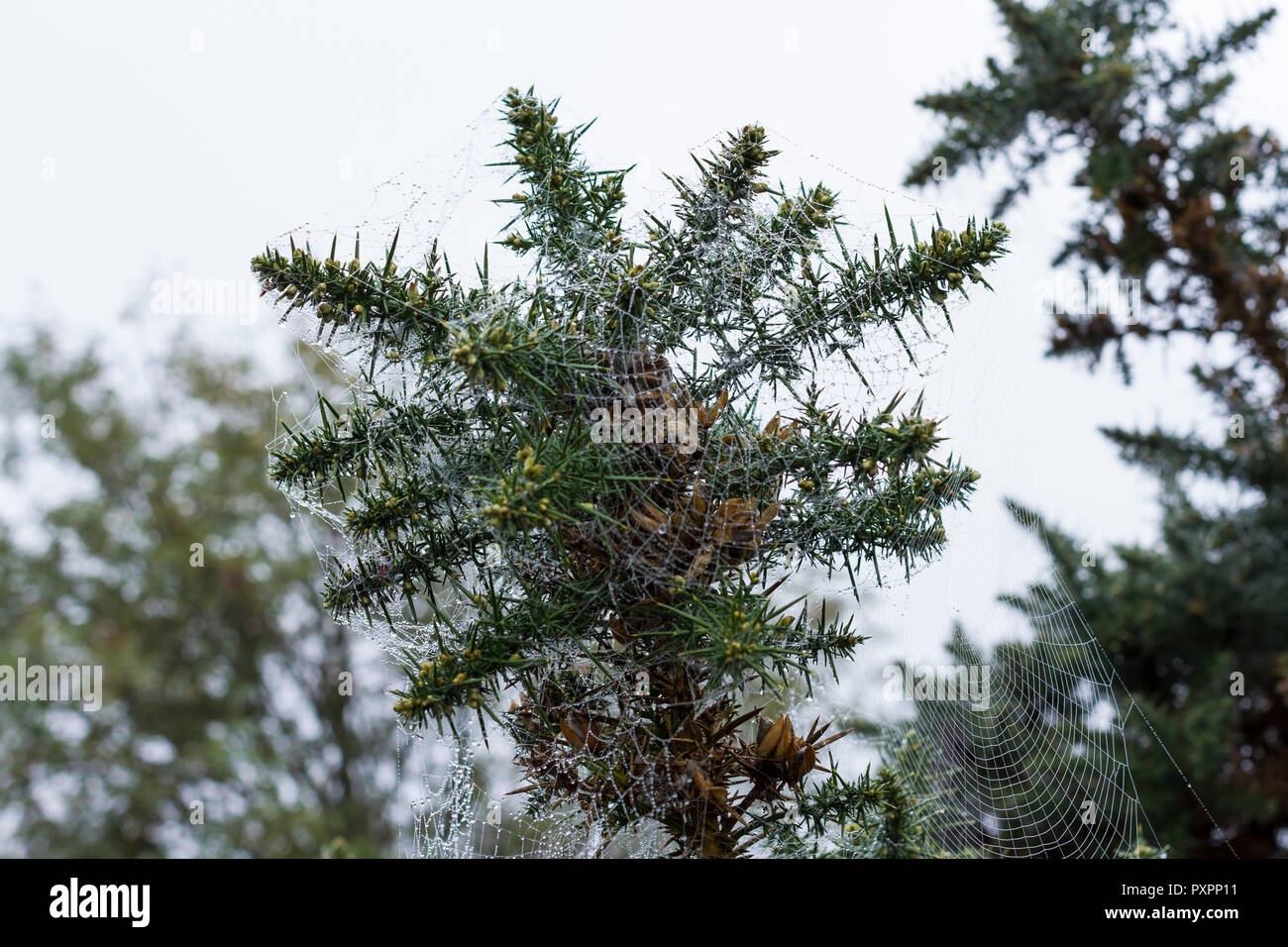 Gorse in the shape of a star with spider webs, Dorset, UK - Stock Image