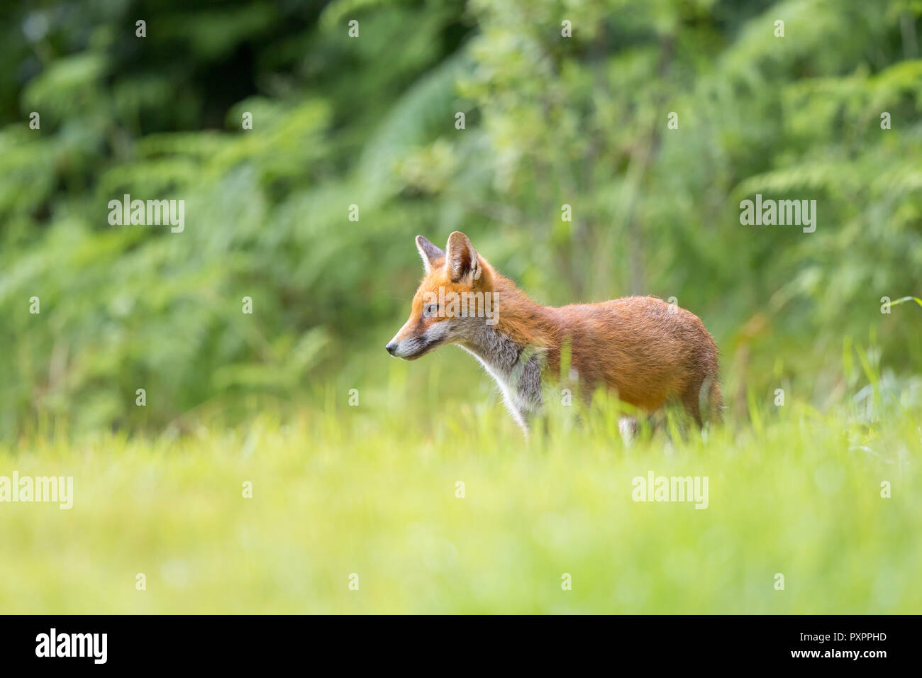 Detailed, close-up side view of young, wild, British red fox (Vulpes vulpes) standing isolated in long grass in outdoor natural UK countryside habitat. - Stock Image