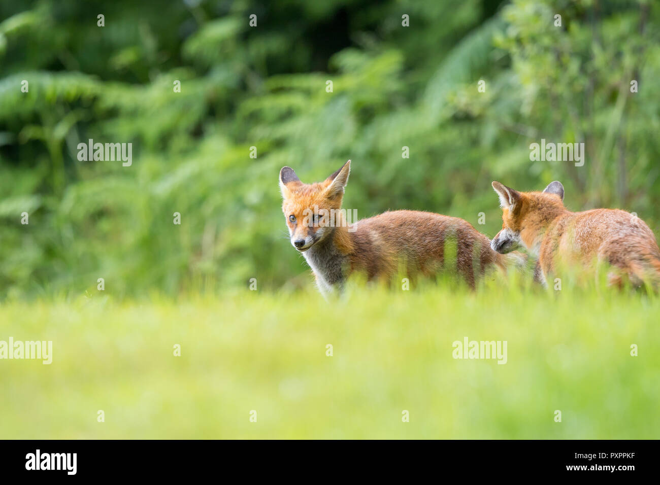 Low angle, landscape capture: pair of young, wild red foxes (Vulpes vulpes) stood in grass, against natural woodland background, looking playful. - Stock Image