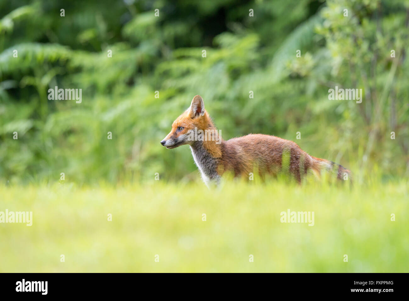 Detailed landscape close up: young red fox in the wild, standing alone in long grass, against woodland background. Side view of body, head facing left. - Stock Image