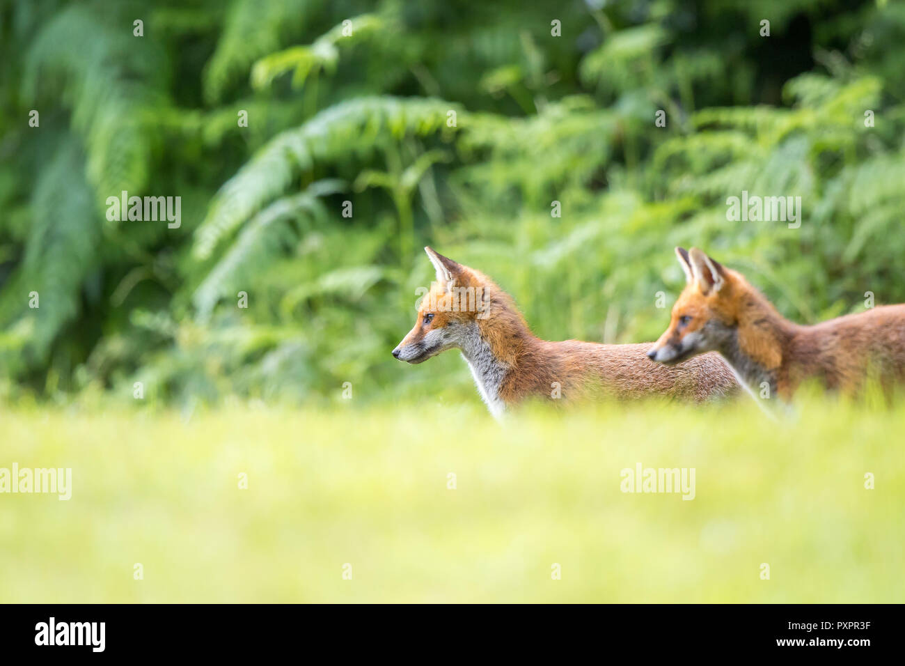 Low angle, landscape capture: pair of young, wild red foxes (Vulpes vulpes) stood still & alert in grass, side-on, against natural woodland background. - Stock Image