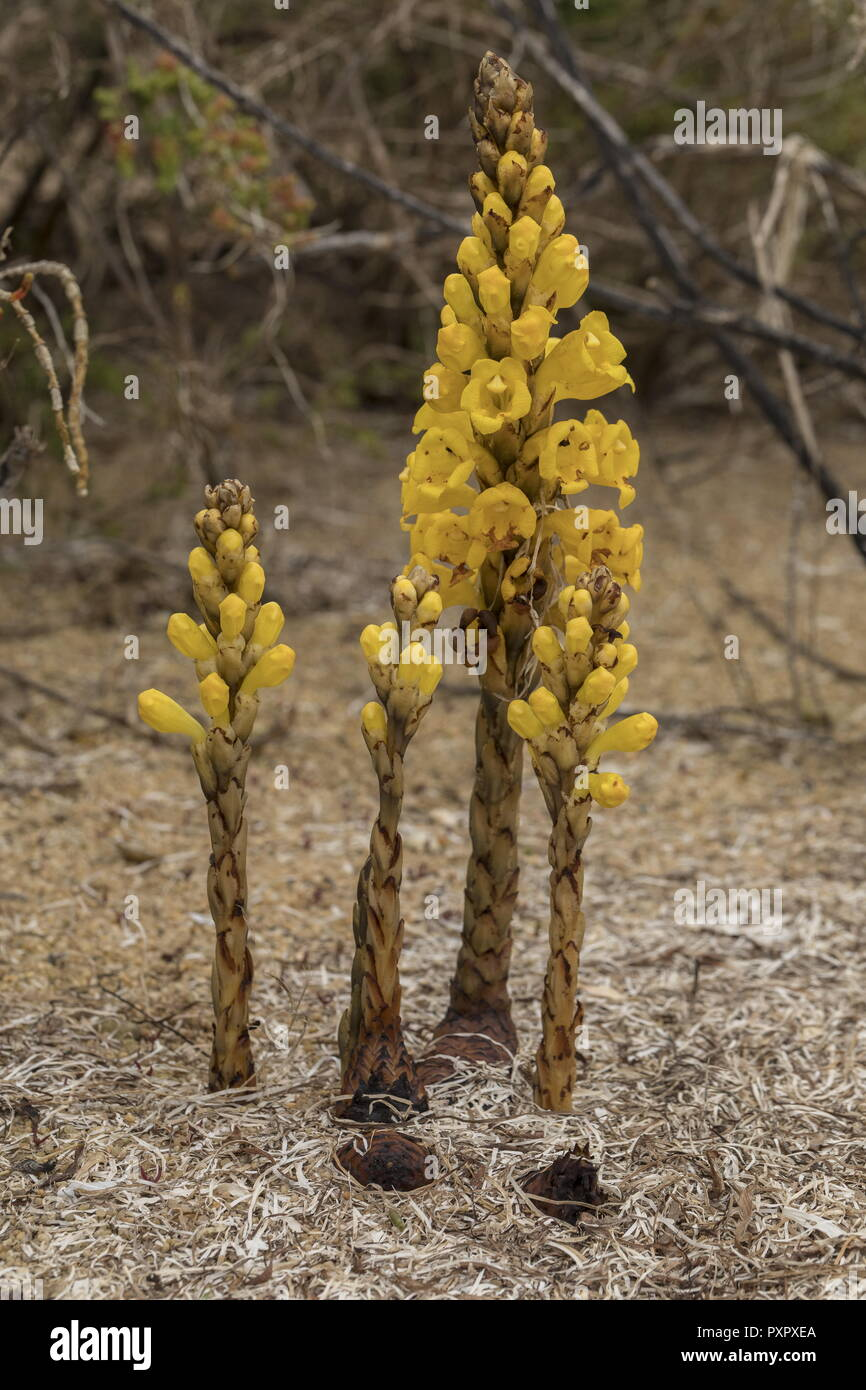 Yellow Broomrape, Cistanche phelypaea - parasitic on woody Chenopdiaceae in coastal areas, Portugal. Stock Photo