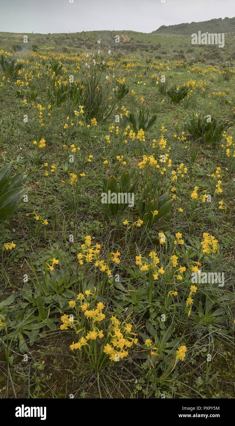 Masses of Narcissus gaditanus, in early spring, at Boca del Rio in the Algarve, Portugal. Stock Photo
