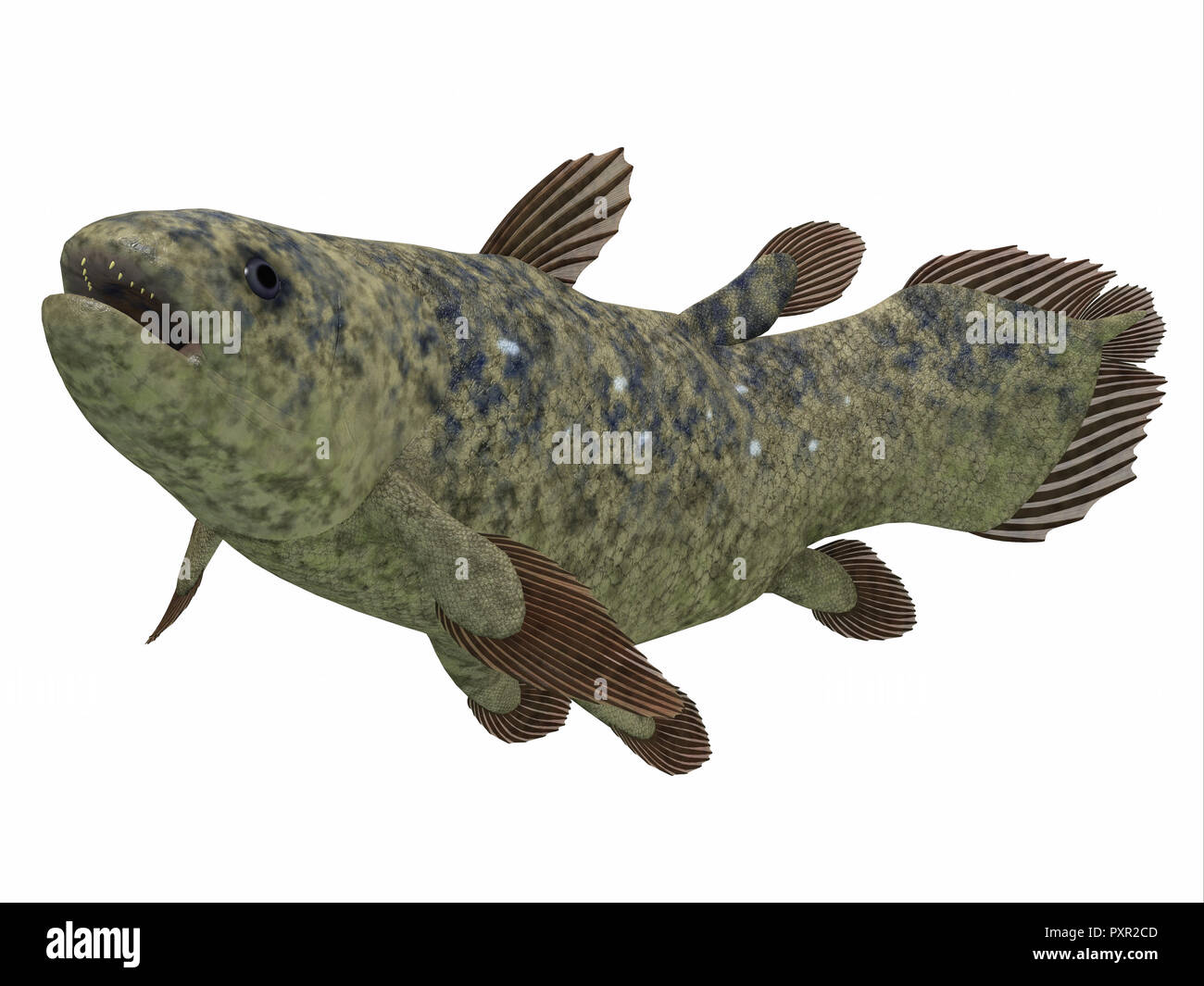 Coelacanth Fish Side Profile - The Coelacanth fish was thought to be extinct but was found to be a still living species. - Stock Image