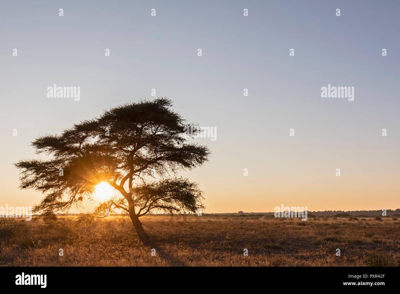 Africa, Botswana, Central Kalahari Game Reserve, Umbrella Thorn Acacia, Acacia tortilis at sunrise - Stock Image