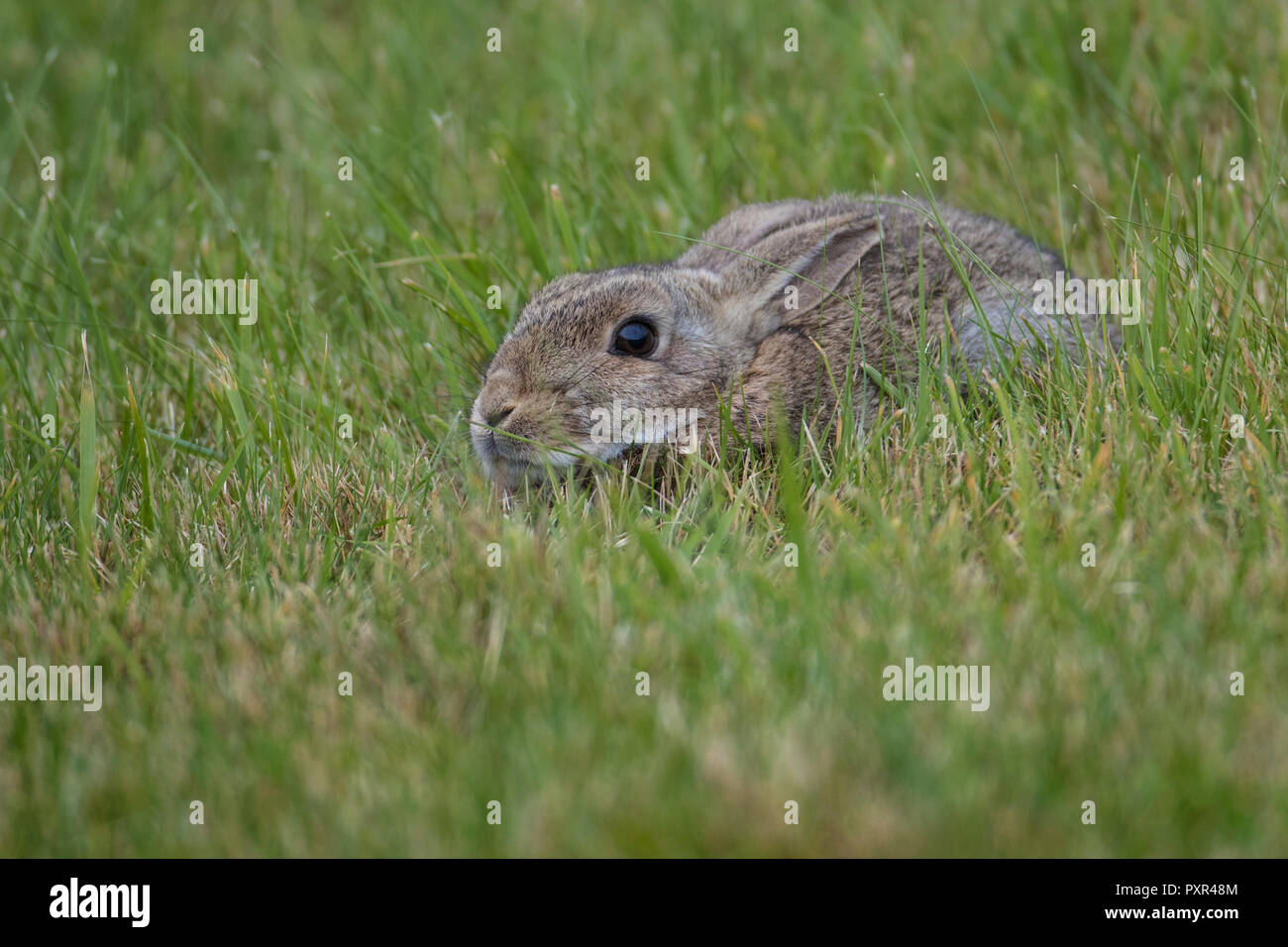 European Rabbit (Oryctolagus cuniculus) crouched down in grass, Shetland, Scotland, UK - Stock Image